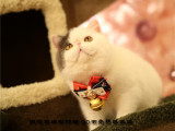 貓舍出售加菲貓包終身純種多只可選可上門挑選