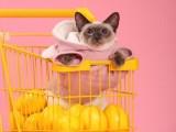 云阳正规猫舍出售纯种宠物猫 证书齐全 疫苗齐全