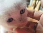 长毛蓝眼晴幼猫