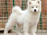 兰州萨摩耶多少钱 兰州哪里卖澳版萨摩耶犬 萨摩耶怎么卖的