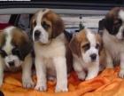 家养一窝纯种的圣伯纳幼犬低价出售,高大威猛四肢粗壮品相好疫苗