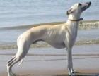 猎兔犬猎犬价格优质猎兔犬猎犬批发