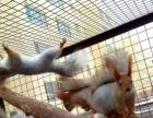 高端松鼠,自家繁殖雪山松鼠预定中,种鼠可看