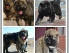 世界犬协授权高加索犬舍 出售带血统高加索 大骨架