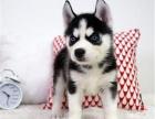 出售纯种哈士奇雪橇犬 哈士奇多少钱 哈士奇价格