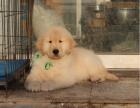 出售纯种美系金毛犬一上门挑选狗狗一签协议质保健康