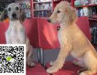 在哪里买纯种的阿富汗幼犬 阿富汗幼犬最低多少钱