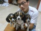 纯种比格幼犬 保品质 保健康 保成活 打折热卖中