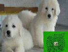 出售精品大白熊幼崽,三个月包退换,三年包治