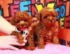 成都精品寵物繁殖基地長期出售泰迪幼犬 保證品質健康