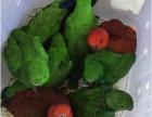 出售折衷鹦№鹉 凯克鹦鹉 葵花鹦鹉 亚马逊鹦鹉 金刚鹦鹉