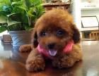 上海闵行区榛果犬业专业犬类养殖基地玩具泰迪出售疫苗齐全可托运