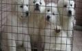 宠物店里的大白熊可以买吗 健不健康