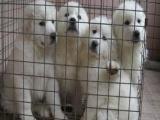 适合家庭饲养大白熊多少钱 要纯一点的
