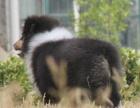 家养一窝纯种苏格兰牧羊犬可以签协议 来家里看狗父母