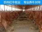 山西省今年公牛苗价格