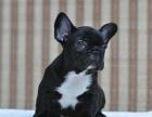 狗市可以买到纯种法国斗牛犬吗 多少钱一只