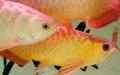 无锡观赏鱼出售发财鱼招财鱼金龙鱼红龙鱼等