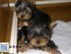 家养约克夏幼犬 金头银背超小体 包健康可签协议
