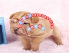 正宗南海大沥沙皮狗出售 包纯种健康 名犬直销