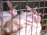 兔子,白兔,黑兔,配种兔.