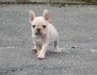 哪里有卖纯种双血统英国斗牛犬纯种的长什么样子