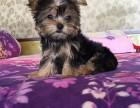温州哪里有犬舍卖约克夏 温州约克夏怎么卖的 约克夏出售