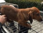 永盛犬业十多年的养殖经验 养殖纯种腊肠幼犬 当面测试交易