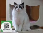 南通哪里有布偶猫出售 南通布偶猫价格 布偶猫多少钱
