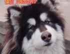 纯种萌宠阿拉斯加宝宝,专业狗舍品质保证,你值得