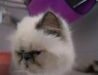 波斯猫3500元喜马拉雅猫猫