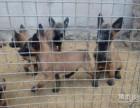 常年出售马犬 马犬幼犬