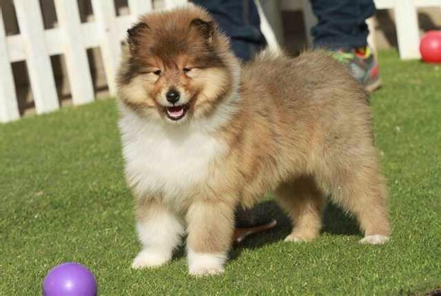 长期繁殖双色苏牧品种多 各类纯种名犬