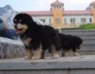 青岛哪里有阿拉斯加出售 巨型熊版阿拉斯加纯种健康的什么价格