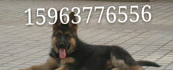 哪里有卖德国牧羊犬的牧羊犬幼犬价格多少钱
