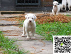 杜高幼犬网 杜高幼犬 杜高幼犬多少钱 杜高的图片
