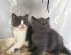 【可爱的蓝猫会用猫砂【无病无癣】保证健康 包活】
