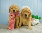济南 金毛幼犬 保证纯种健康 签订活体协议 包退换