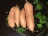 红薯品种龙薯9 恩施地瓜产地批发供应