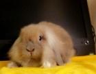 垂耳兔宝宝找爸爸妈妈
