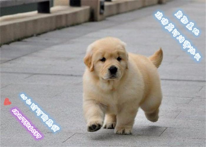 专业繁殖金毛犬 保纯种健康 可实地挑选
