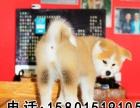纯种日本秋田犬 大型高端宠物狗 送亲人朋友的好选择