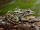 青蛙養殖技術安徽黑斑蛙養殖虎紋蛙養殖
