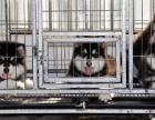 出售纯种巨型桃脸十字脸阿拉斯加雪橇犬幼犬/家养宠物活体狗狗