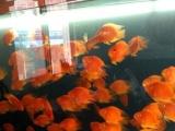 出售自家养的鹦鹉鱼