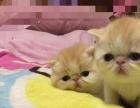 纯种健康布偶-金吉拉-银渐层-加菲-折耳猫-蓝猫