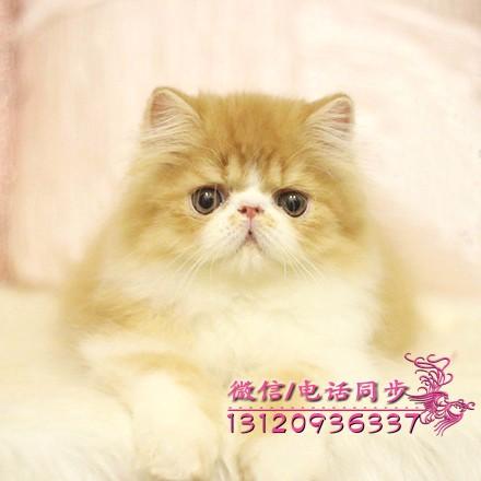 银川波斯猫 长毛波斯猫 白波斯猫 黄波斯蓝眼睛(包纯种健康)