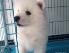 萨摩幼犬-纯种健康专业狗场繁殖-签协议-可送货上门
