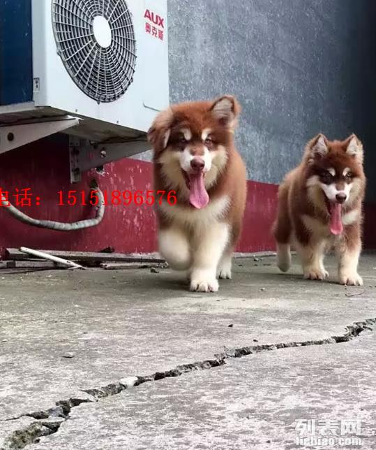 贵阳哪里卖巨型阿拉斯加犬 贵阳红色巨型阿拉斯加多少钱