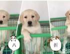 聪明会耍无辜的纯种拉布拉多特价销售 导盲犬拉布拉